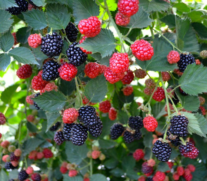 bberry3
